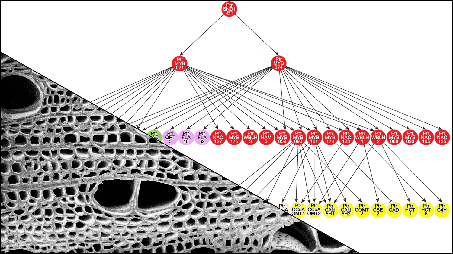 Diagram of transcriptional regulatory network and scanning electron micrograph of a poplar stem cross-section