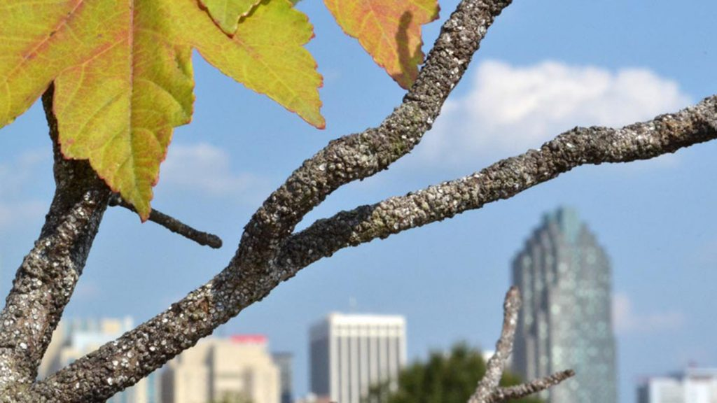 Photo of scale insects on a maple tree in Raleigh, N.C.