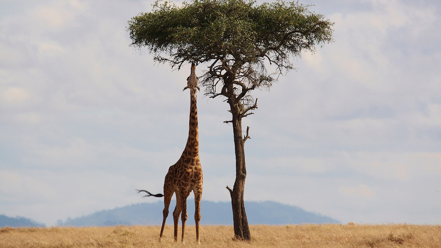 Photo of giraffe and tree in Kenya.
