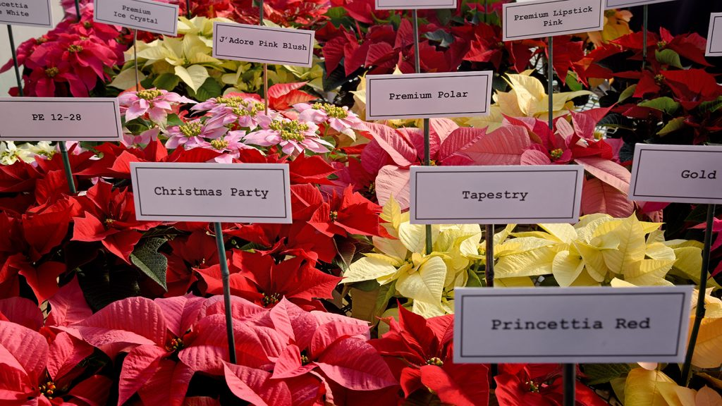 An image of several different types of poinsettias, from the North America Poinsettia Trials at Raulston Arboretum.