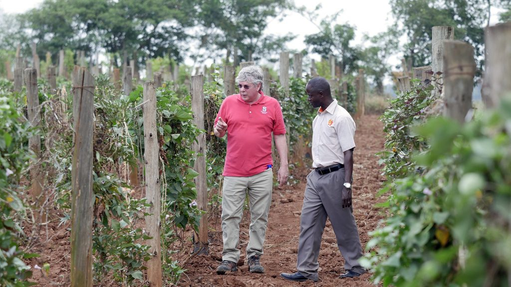 Two men survey sweet potato vines at a research farm outside Kampala, Uganda.
