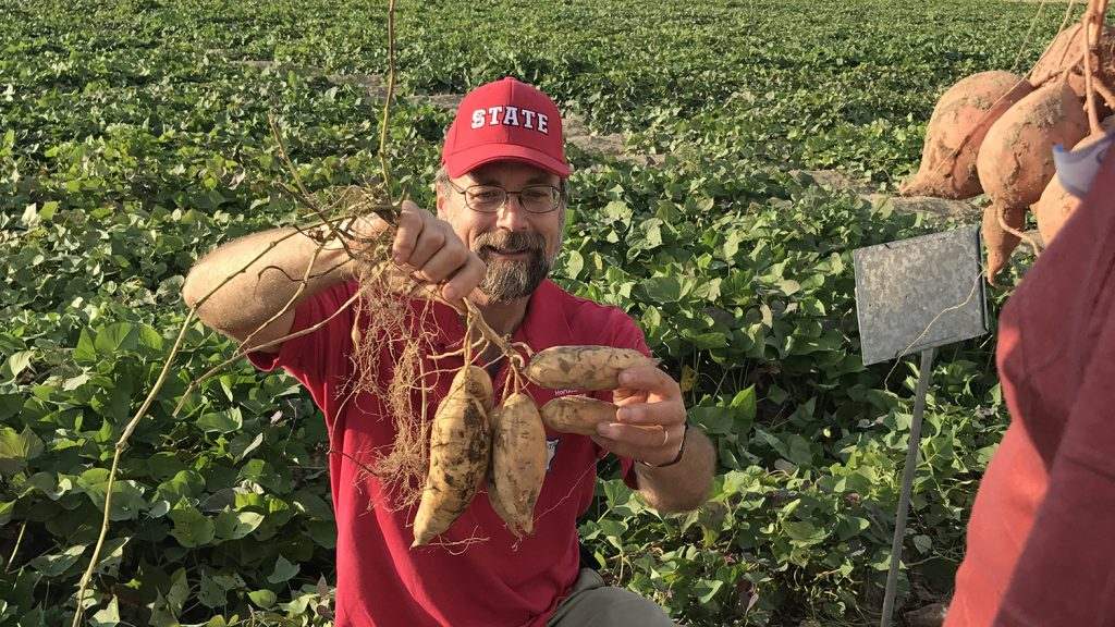 A man in glasses and an NC State ballcap holds up sweet potatoes in a research field.
