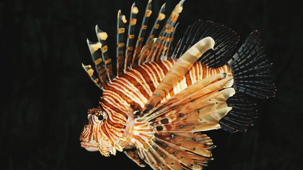 Photo of red lionfish.