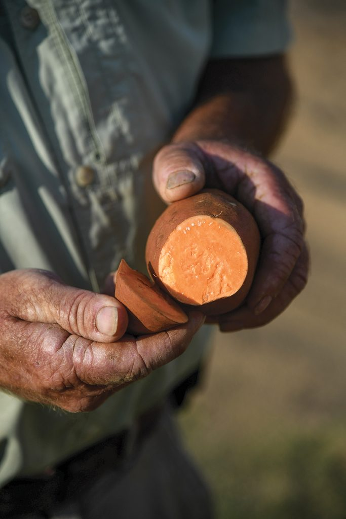 A farmer in North Carolina shows a sliced sweet potato varietal.