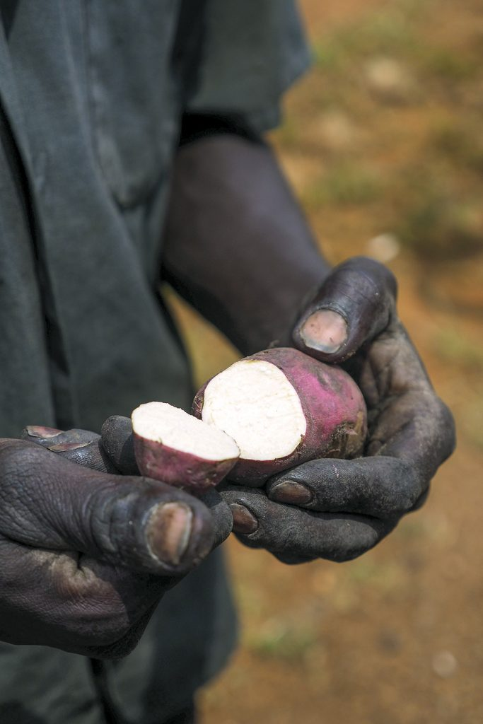 A farmer in Uganda shows a sliced sweet potato varietal.