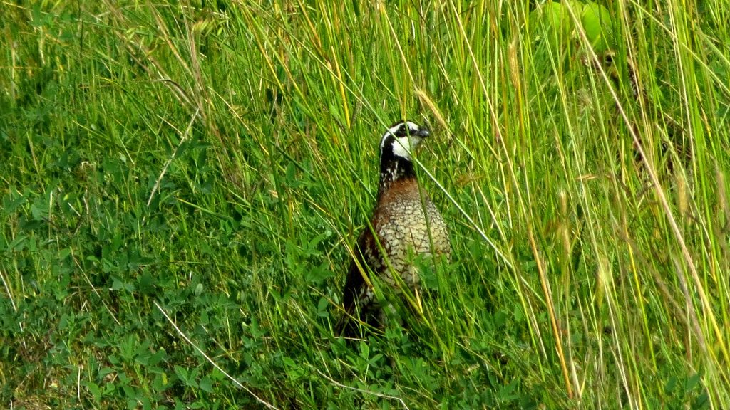 A northern bobwhite quail in the grass