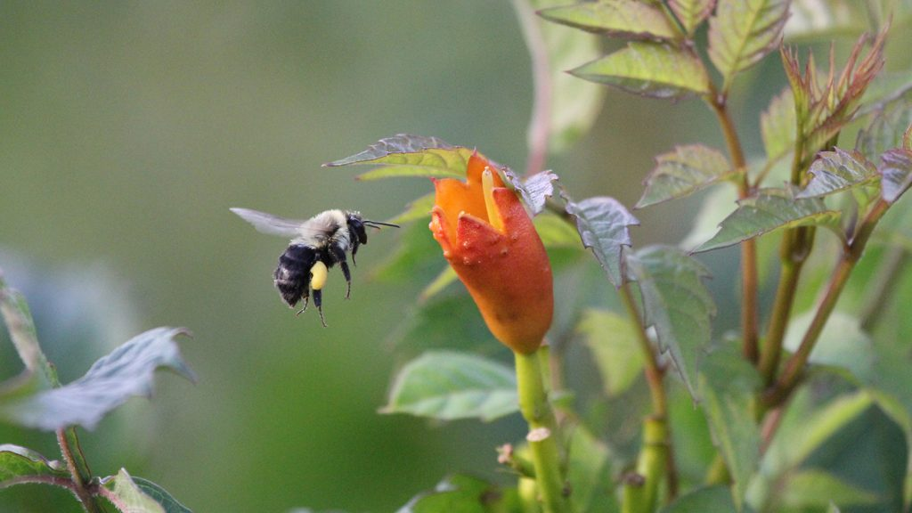 bumblebee hovers near flower