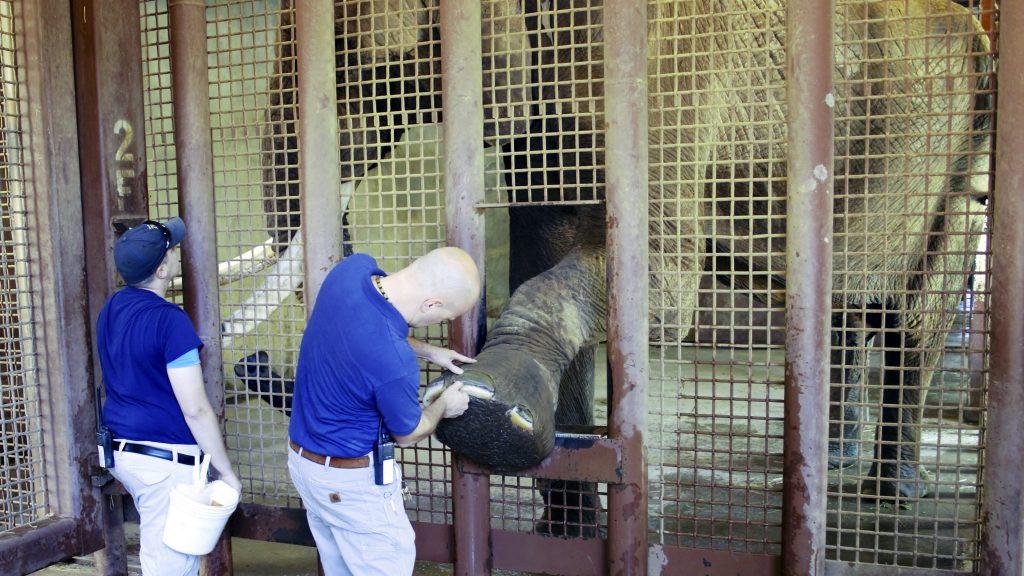 Zoo veterinarians examine an elephant's hoof