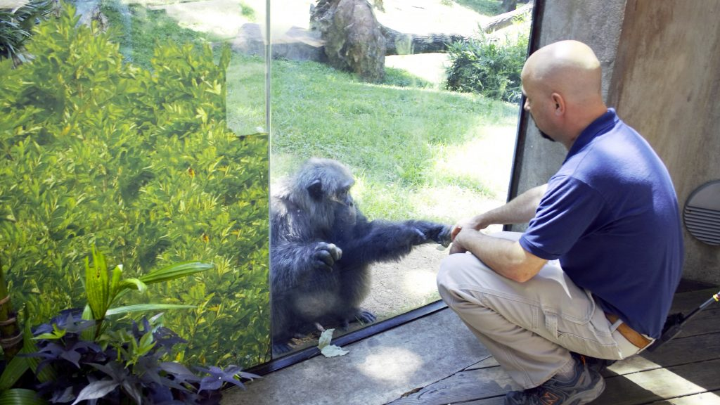 Veterinarian Jb Minter crouches to fist bump a chimpanzee through a glass enclosure at the N.C. Zoo
