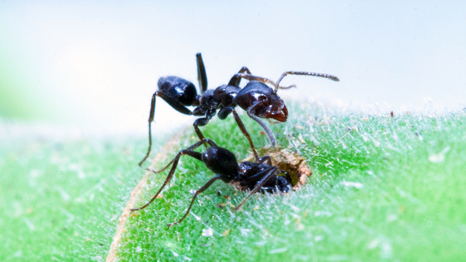 Azteca ants entering a hole in a plant surface