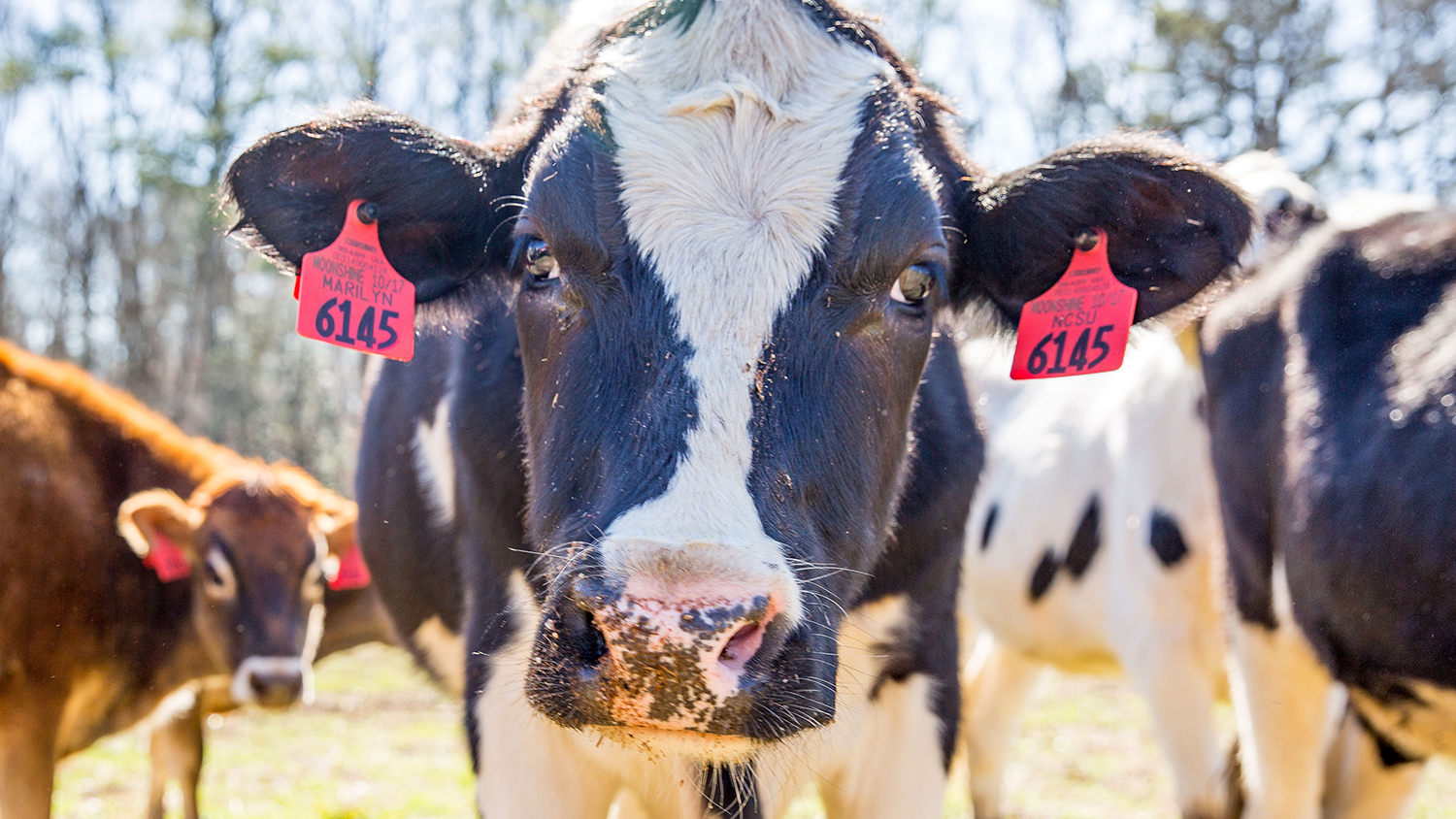 A black and white cow with red ear tags looks directly at the camera