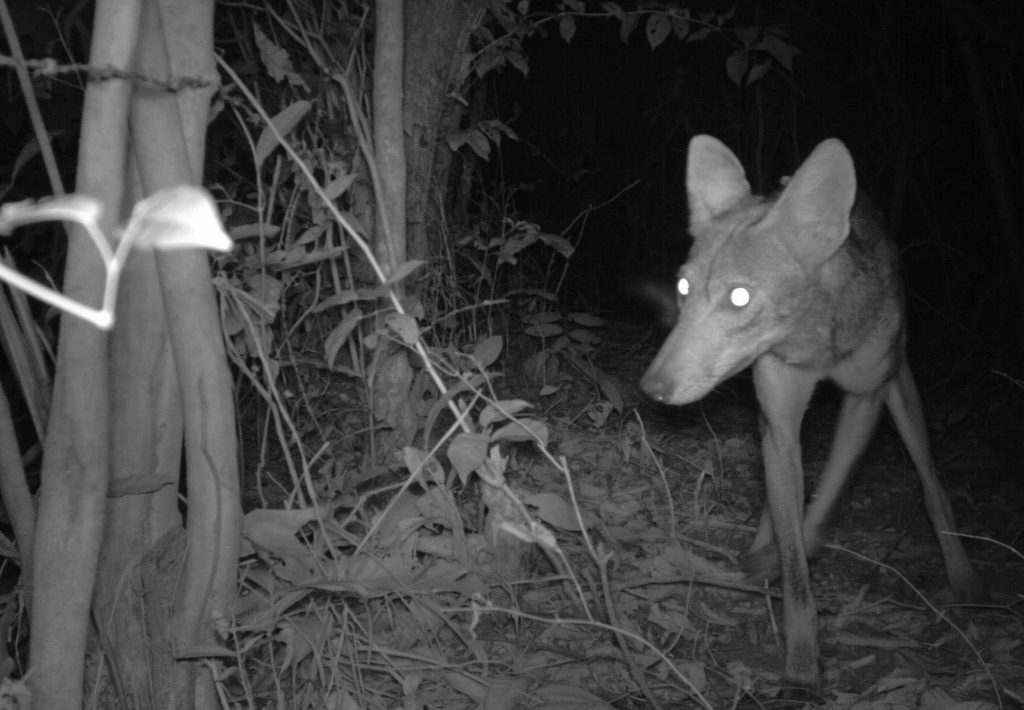 Camera trap photo of a coyote in eastern Panama