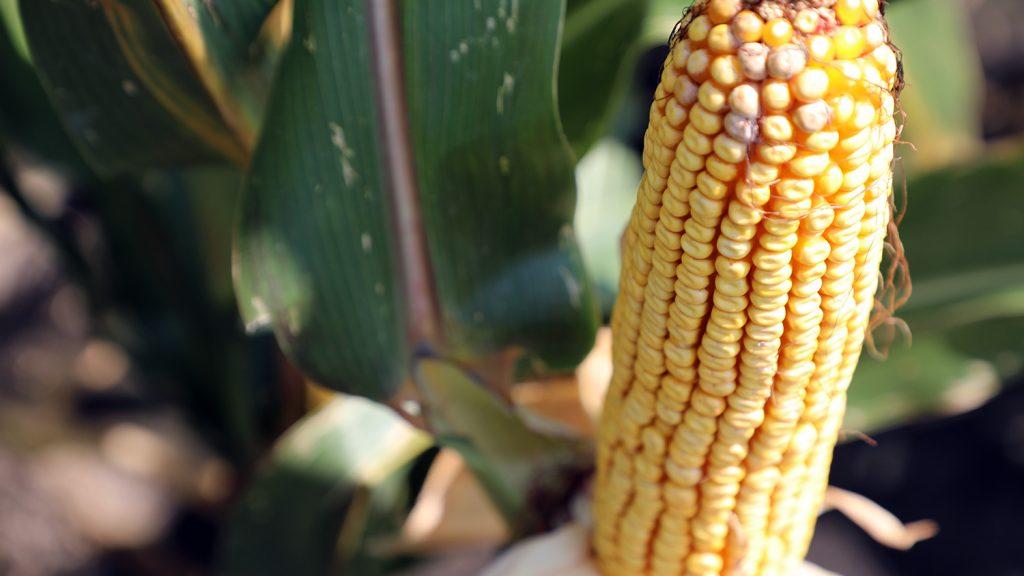 An ear of corn on a farm in North Carolina