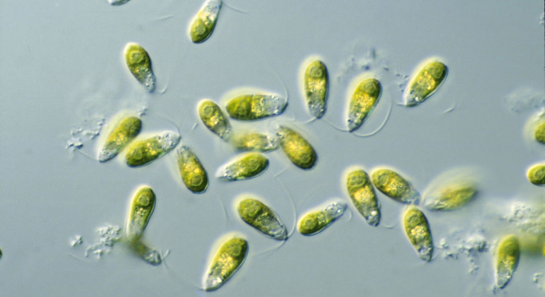 Dunaliella saltwater algae