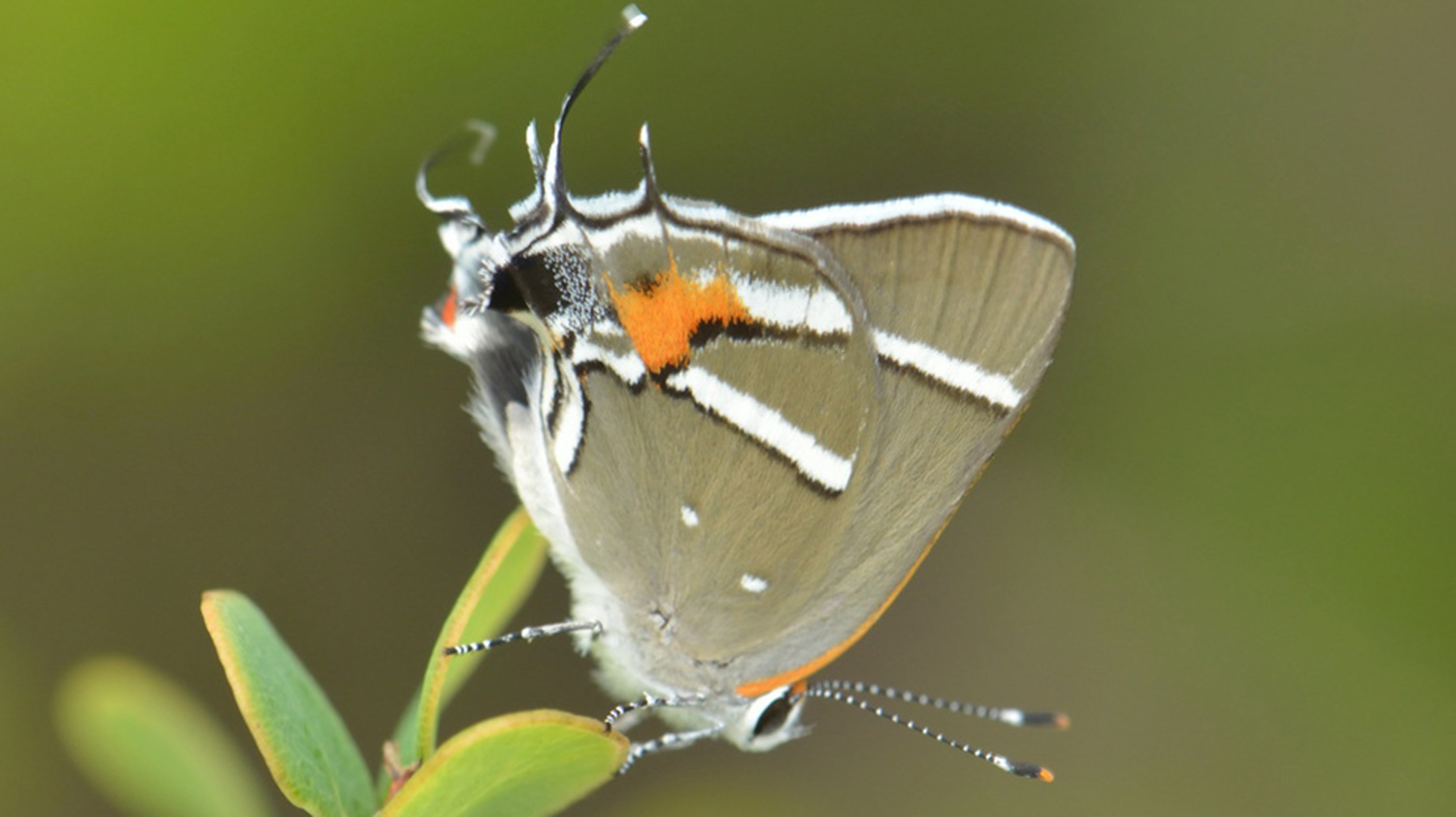Bartram's Scrub Hairstreak