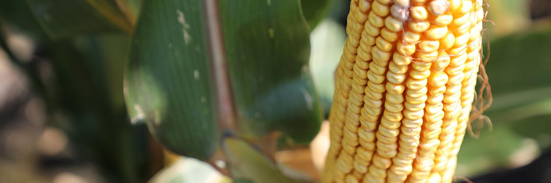 An ear of corn from a North Carolina farm.