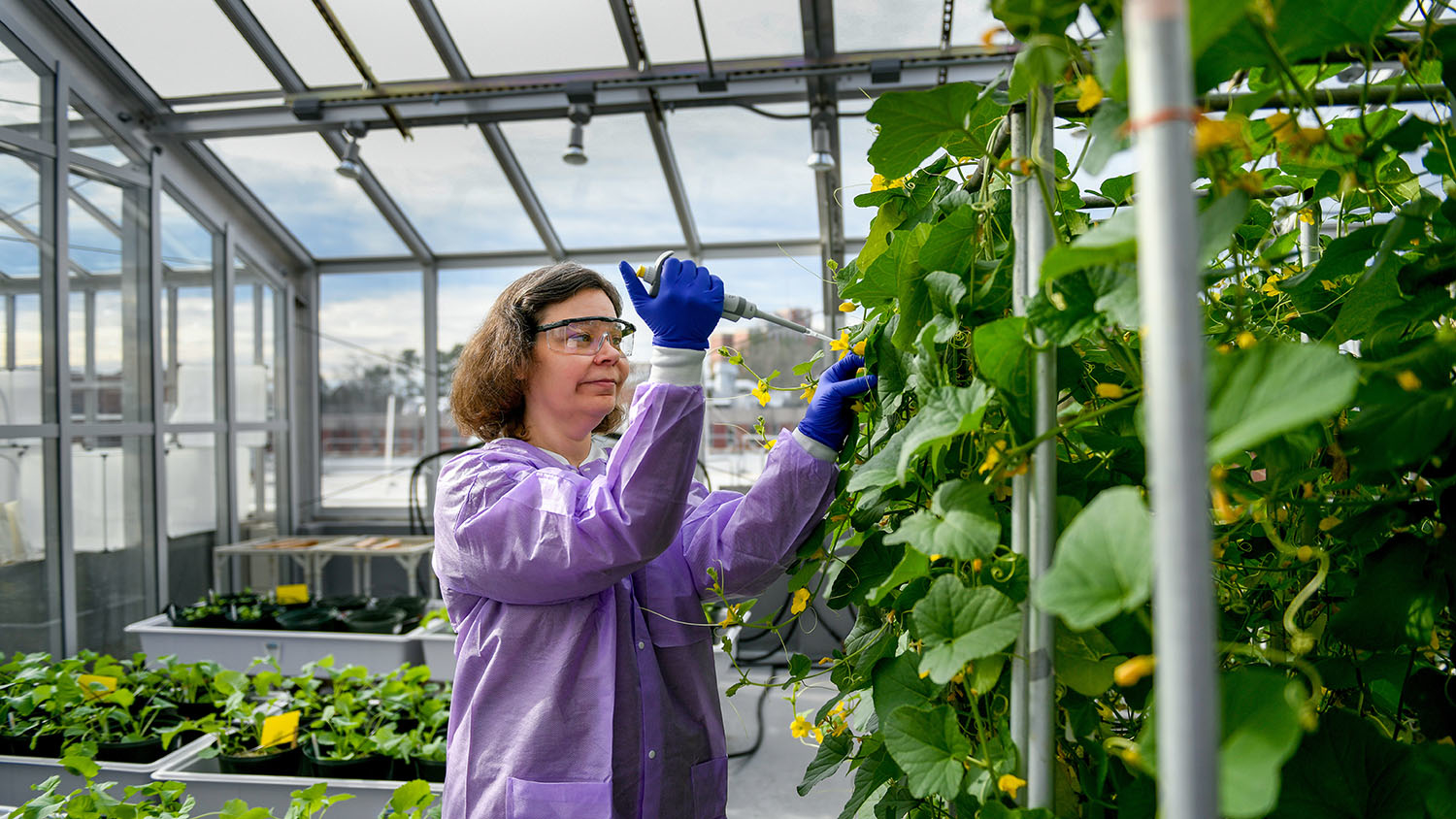 Kellie Burris in the Phytotron, inoculating a plant.