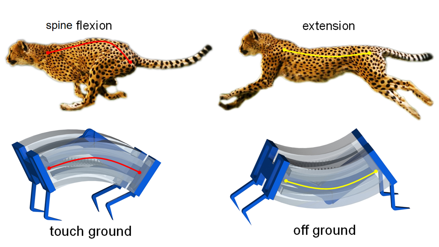 The image compares the running of a cheetah and the robot, both of which flex and then extend their spine as they move
