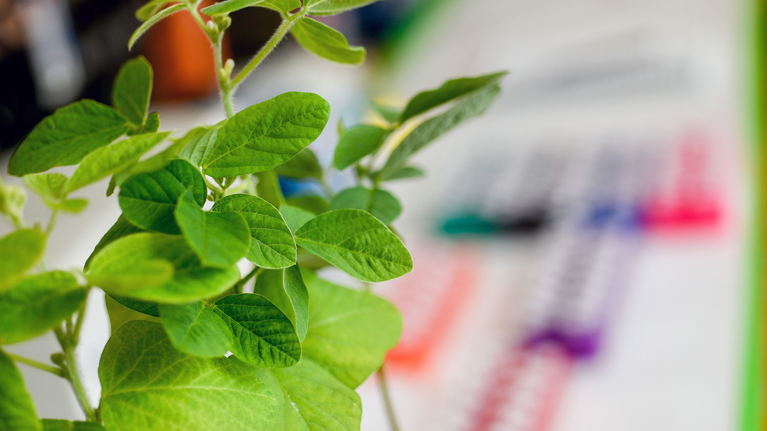 Soybean plants in a laboratory with colorful tubes in the background.