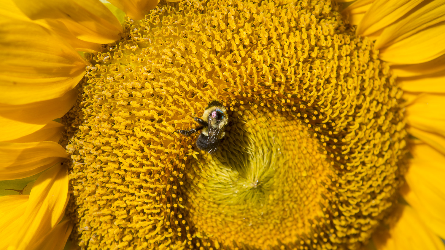 Bumble bee on a sunflower.