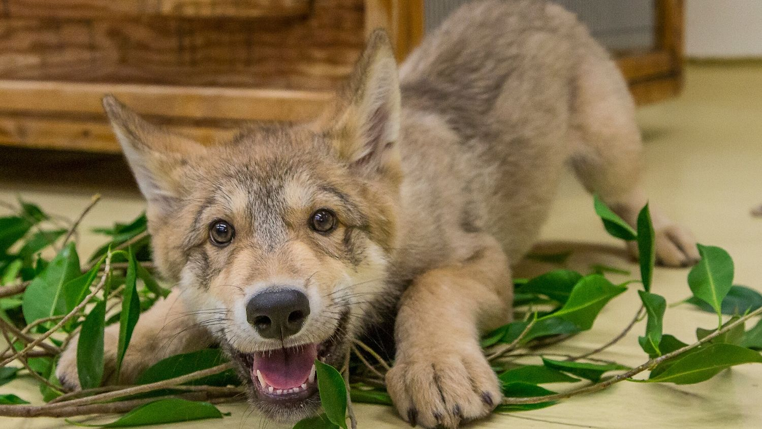 Shadow, a wolf at the San Diego Zoo, when he was a pup in 2014.