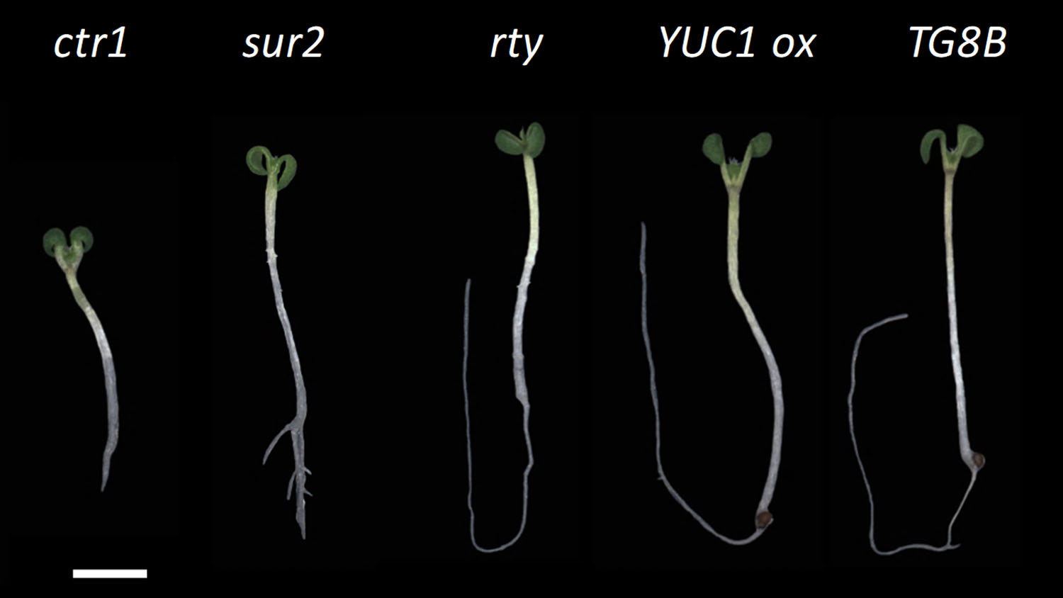 "Seedlings with mutations in genes involved in making a plant growth hormone have curly cotyledons, the first two ""leaves"" of a plant shoot, or short roots. (Labeled seedlings on black)"