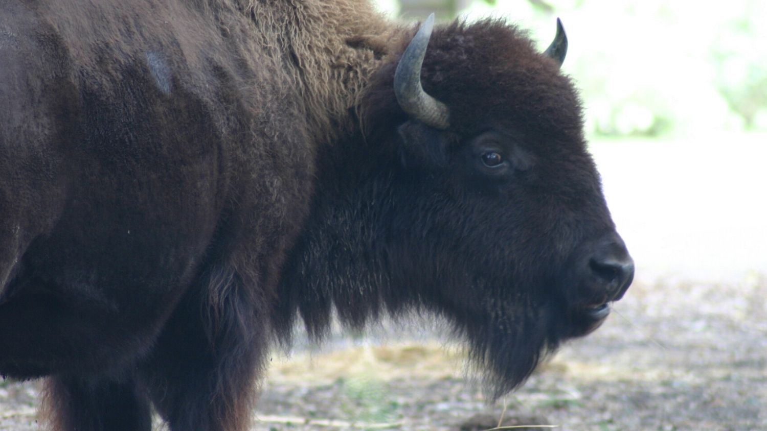 American bison.