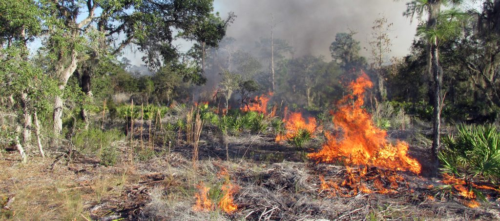scrub brush burning in a swampy pine forest
