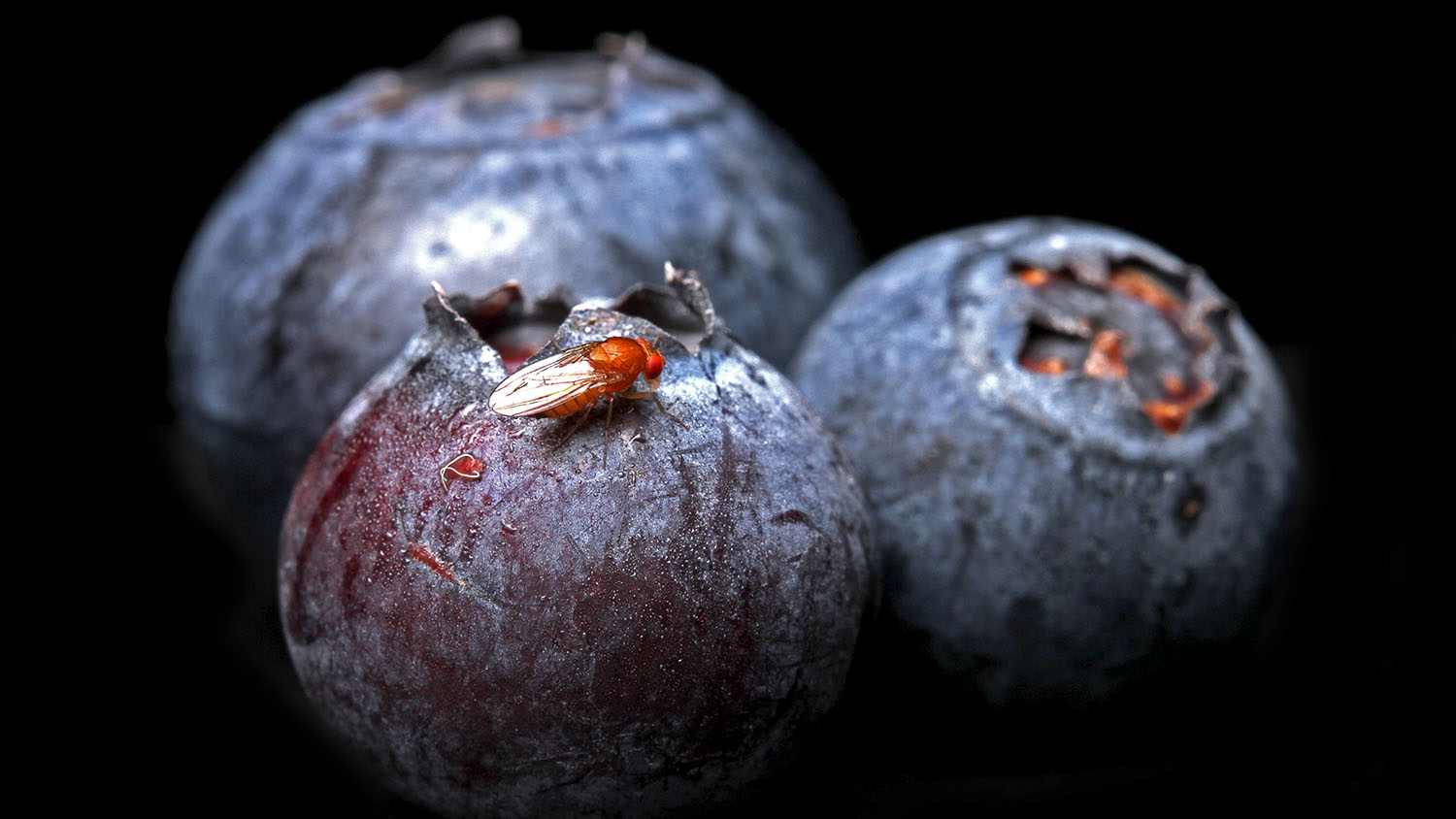 A small, red fly on a blueberry, against a black background.