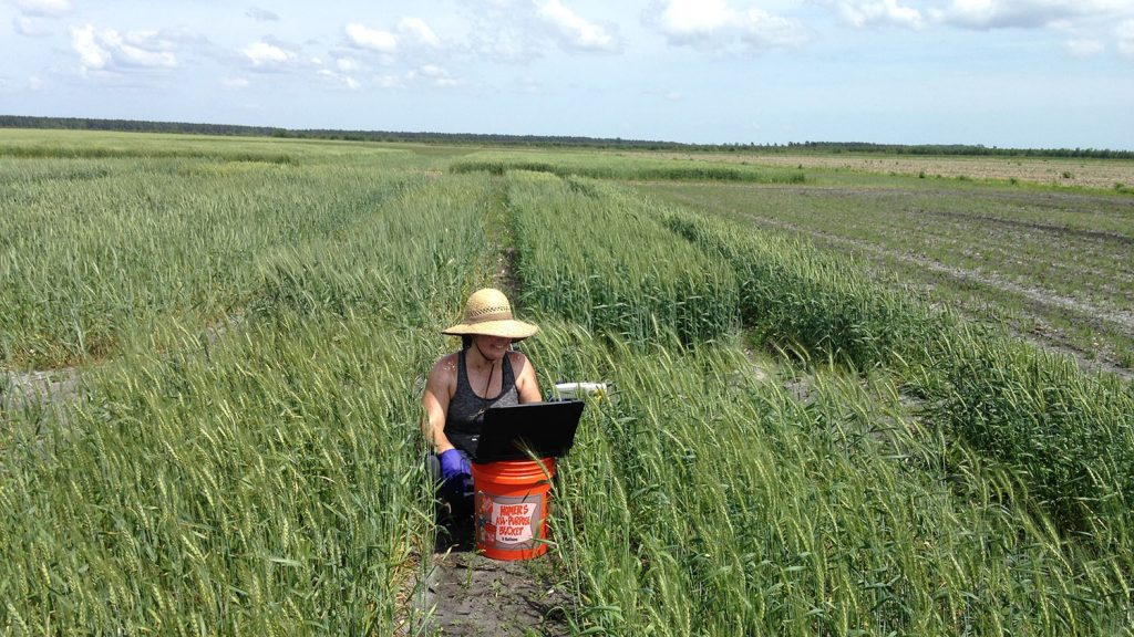Marissa Lee collects fungal samples from a wheat field.