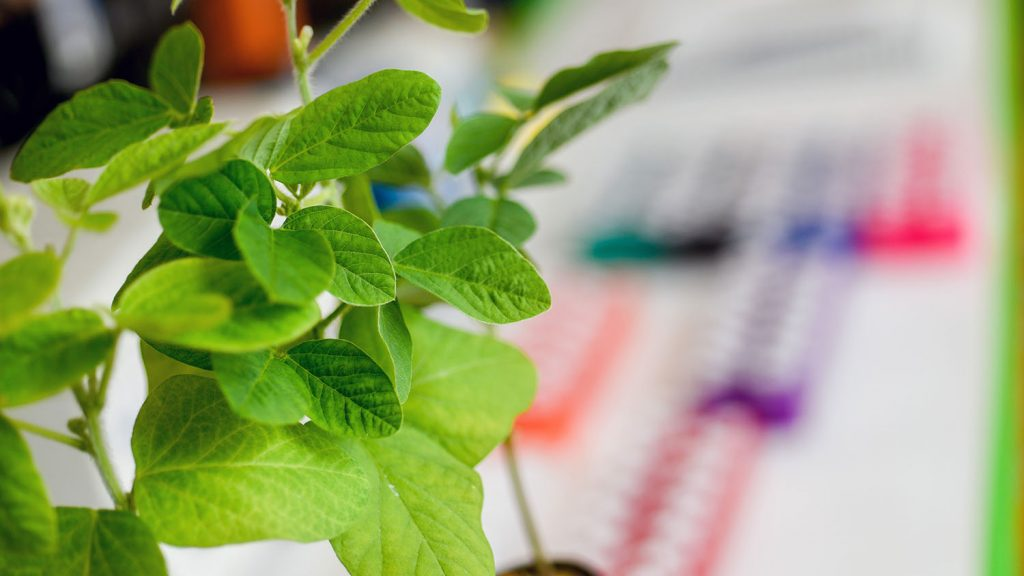 Plants grow in an NCState laboratory.