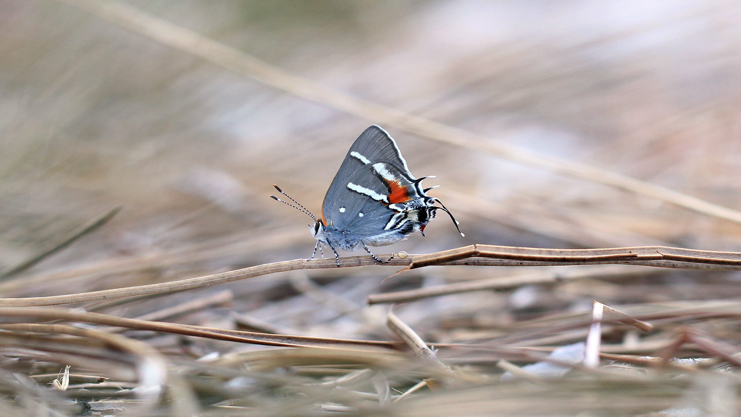 A Bartram's scrub-hairstreak butterfly alighting on a twig.