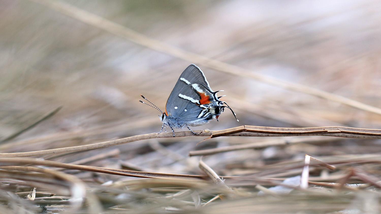 A Bartram's scrub-hairstreak butterfly alighting on a twig.