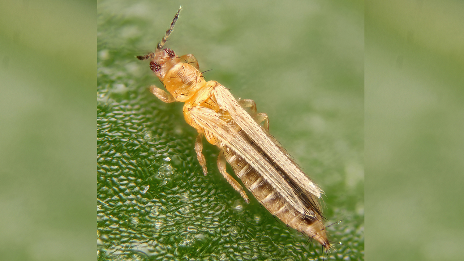 Insect with fringed wings on plant material