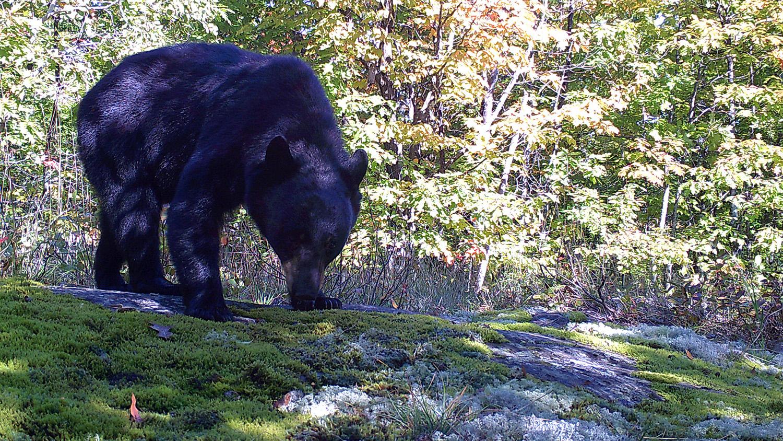 black bear sniffs the ground
