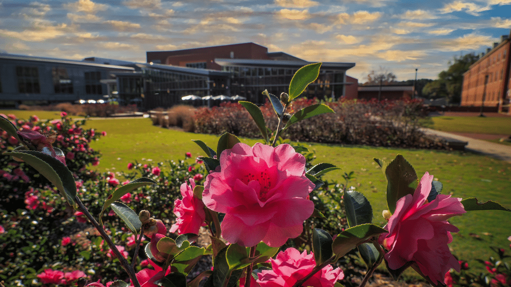 Blooming pink flowers on Stafford Commons.