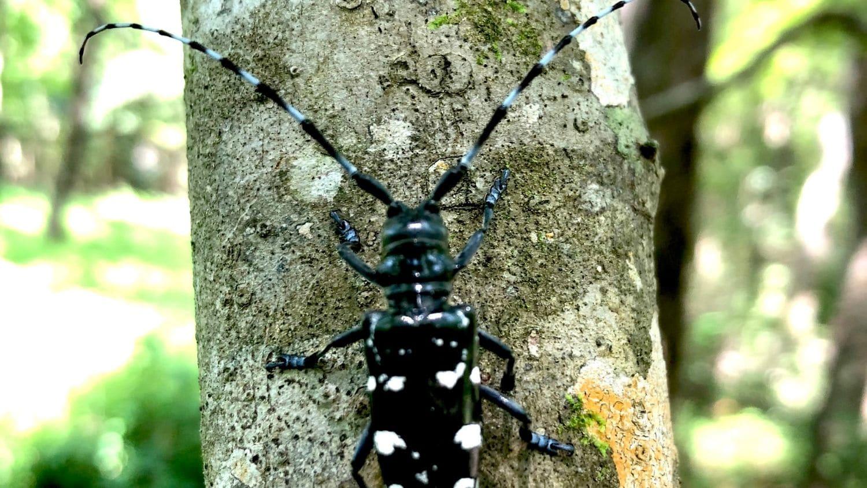 Asian longhorned beetle.