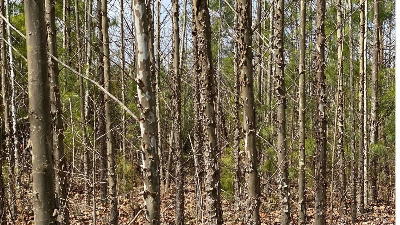 American sycamore grove