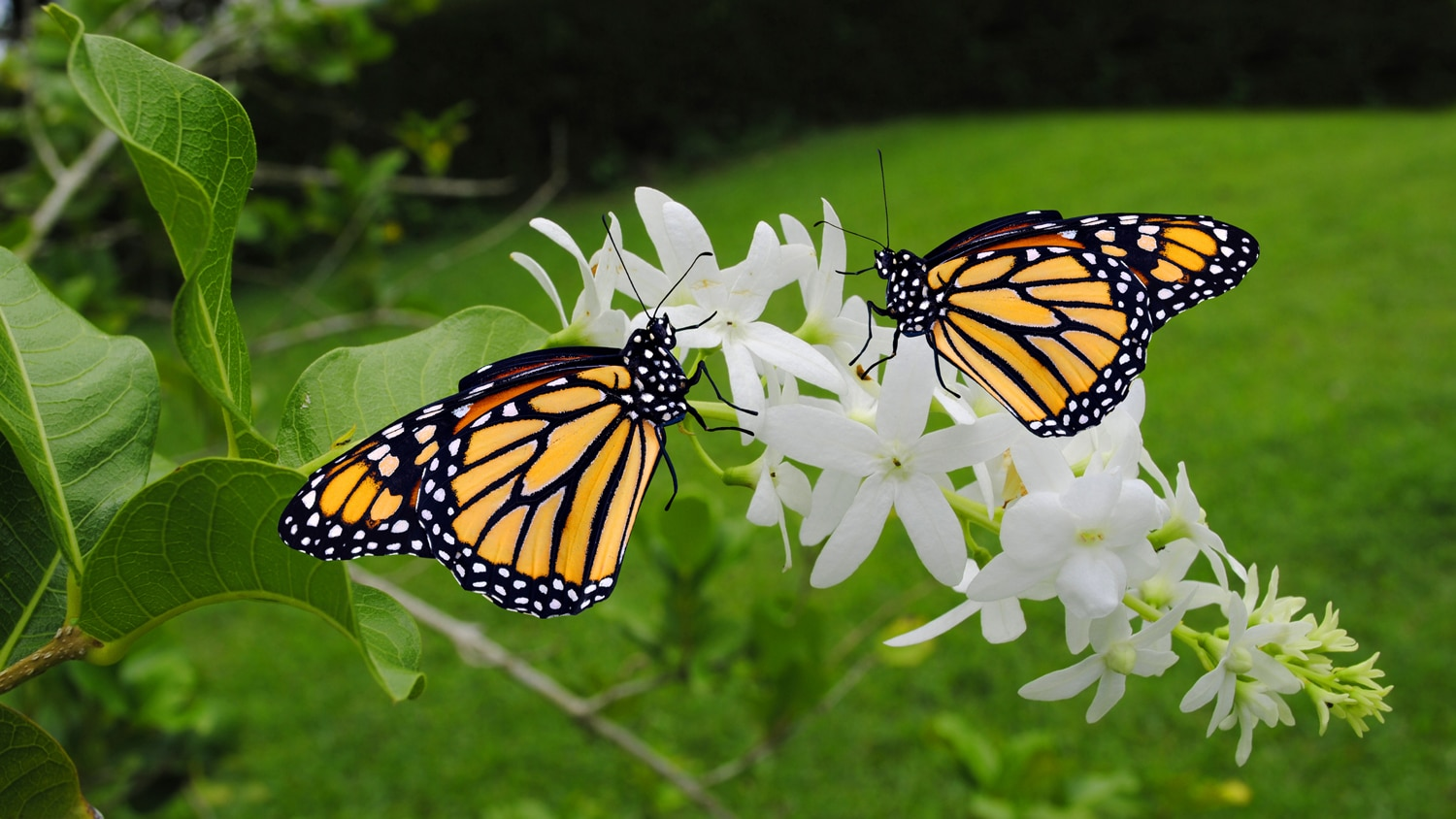 Two Monarch butterflies on a white flower