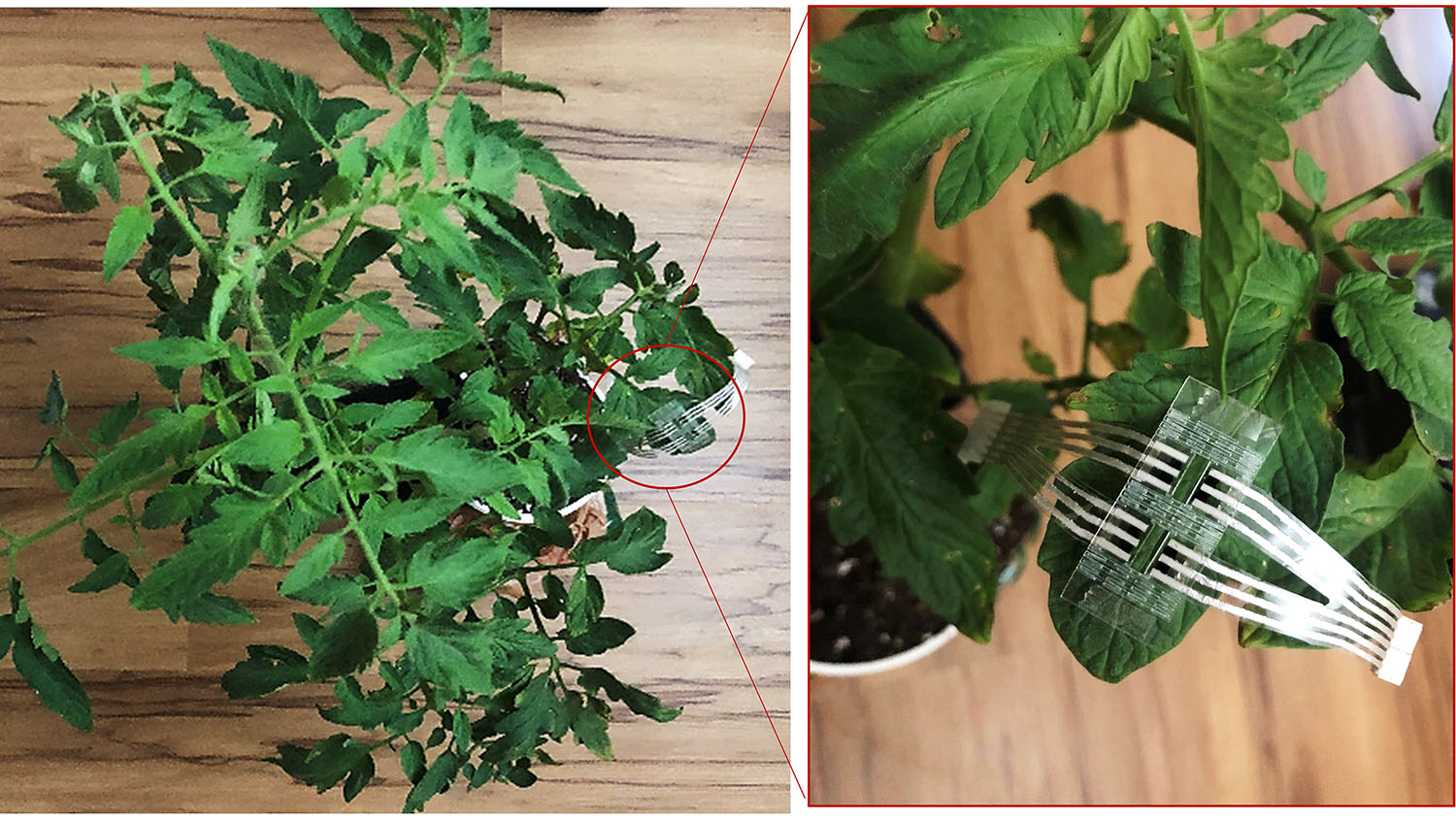 tomato plant with an electronic patch on one leaf.