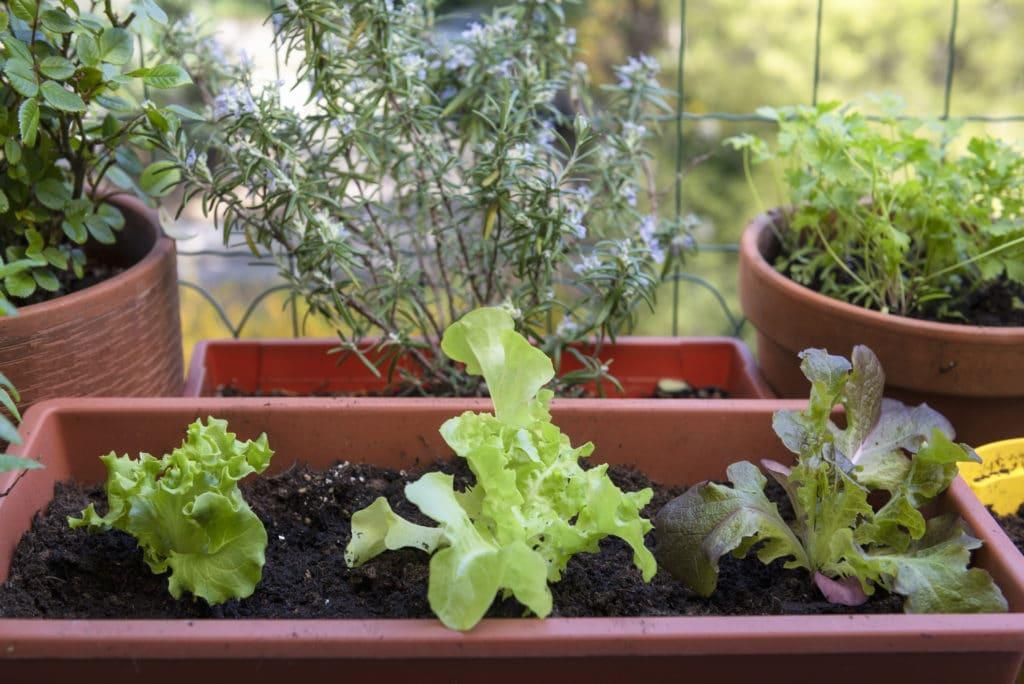 balcony gardening fresh and organic vegetables