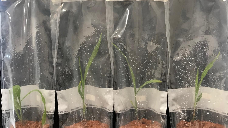 corn plants in bags