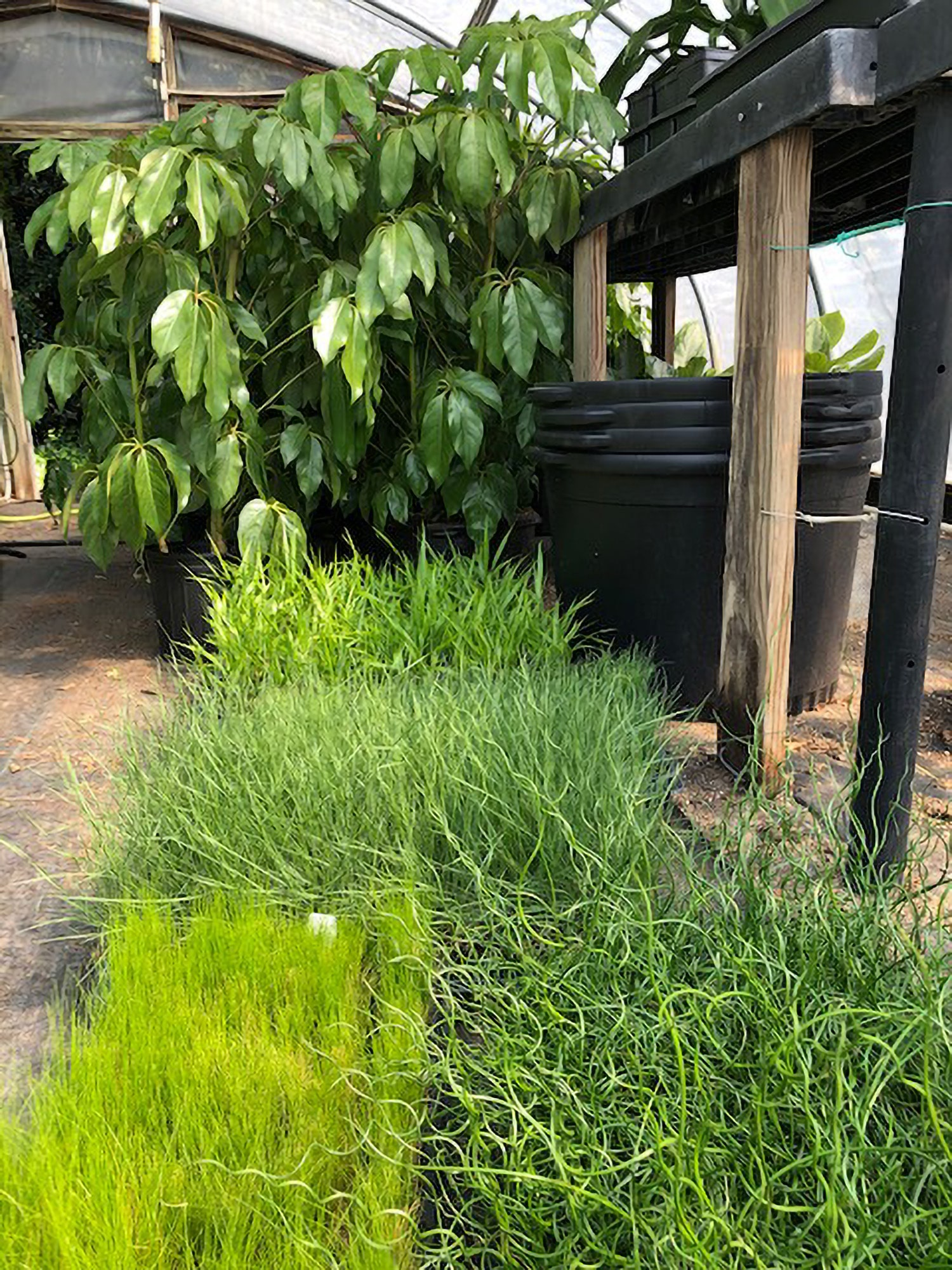 View of grasses being grown inside the greenhouse.