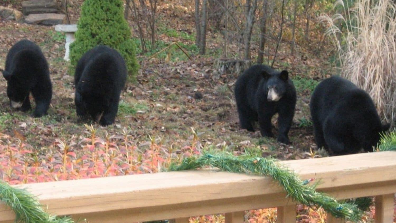 Black bears in Asheville.