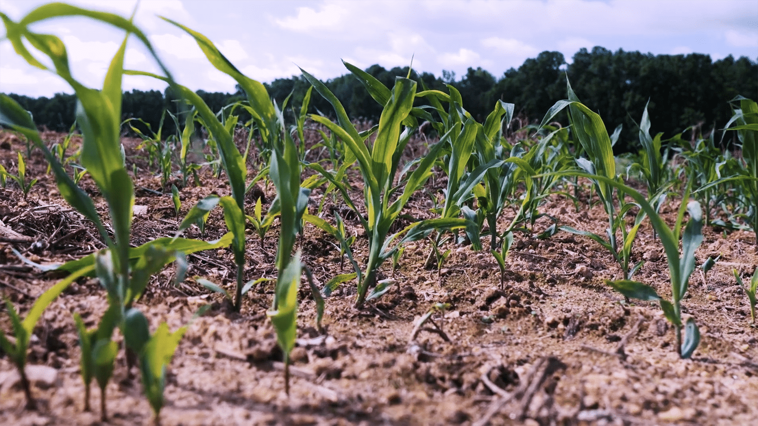 Rows of green crops grow in a field.