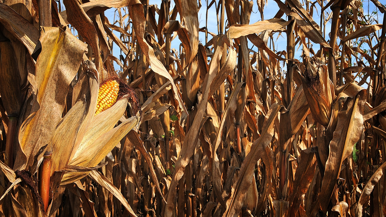 Corn on the stalk.
