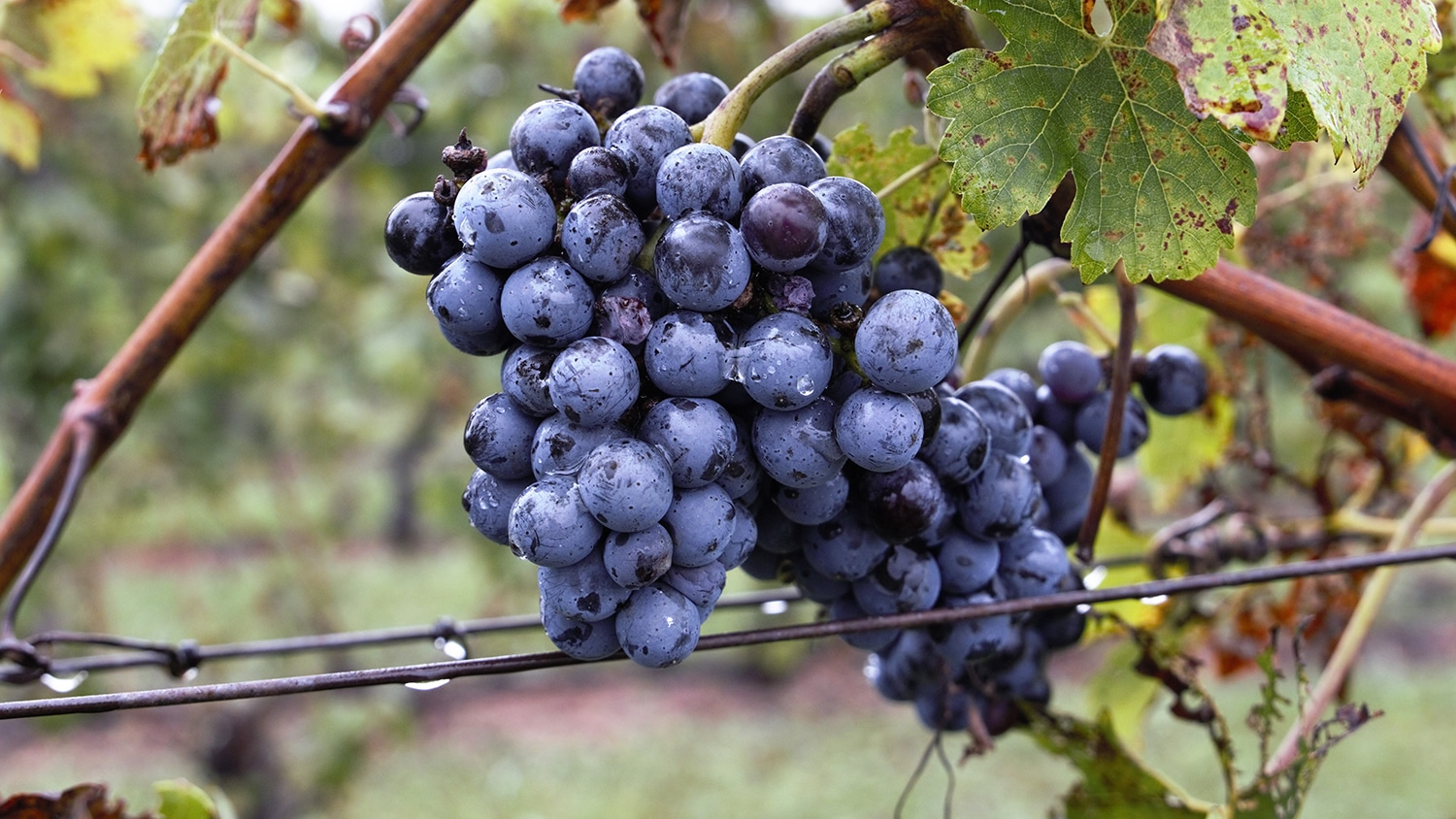 Unharvested grapes on the vine.