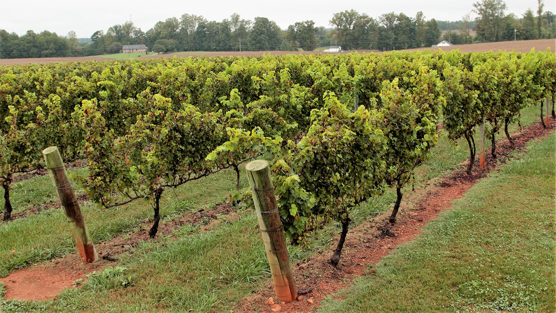 Vines at Shelton Vineyards.